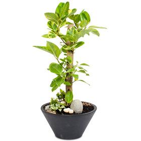뱅갈고무나무 외대